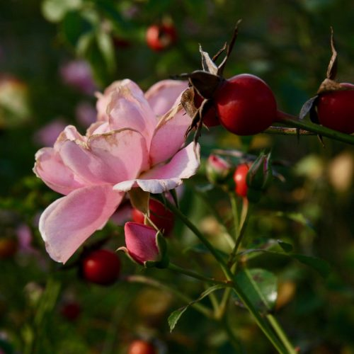 rosa silvestre o escaramujo
