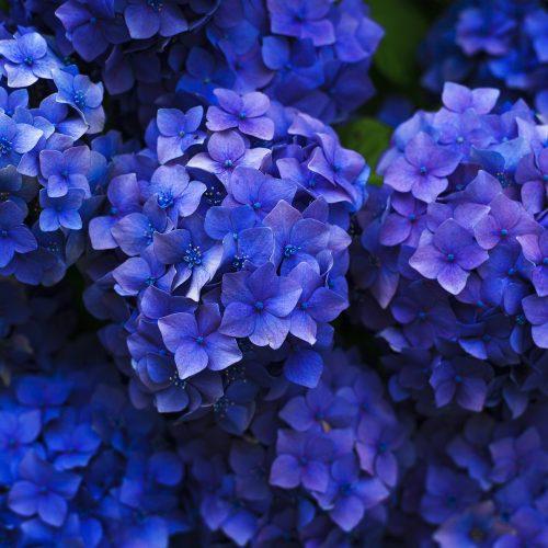 hortensia azul