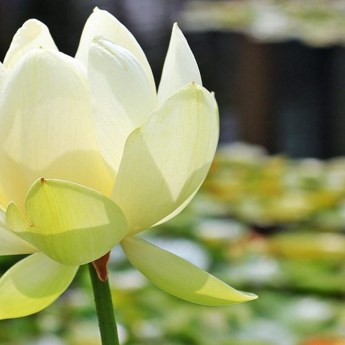loto amarilla