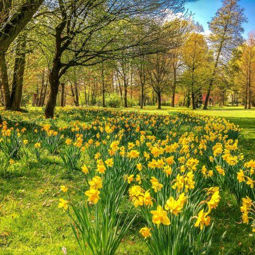 narcisos amarillos flor