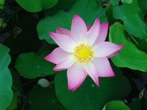 significado flor de loto rosa
